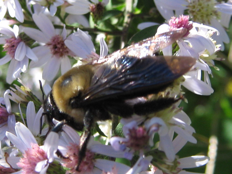 Carpenter bee on aster