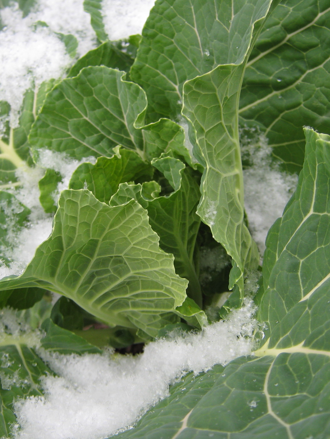 Collard greens in a dusting of snow