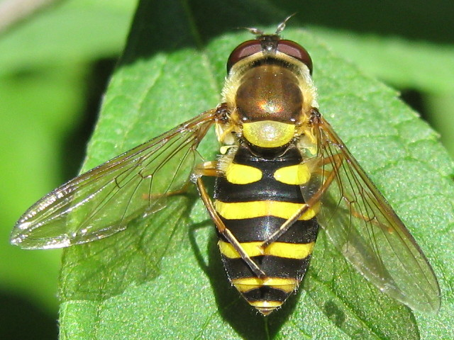 Syrphid fly grooming itself