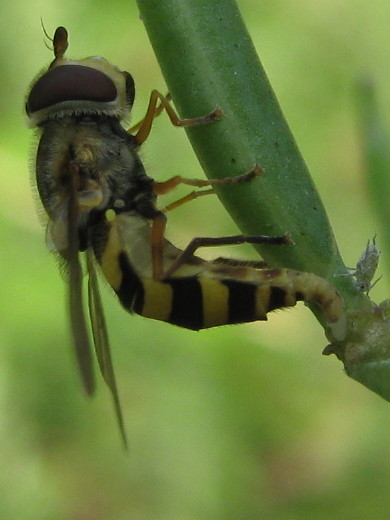 Syrphid laying an egg