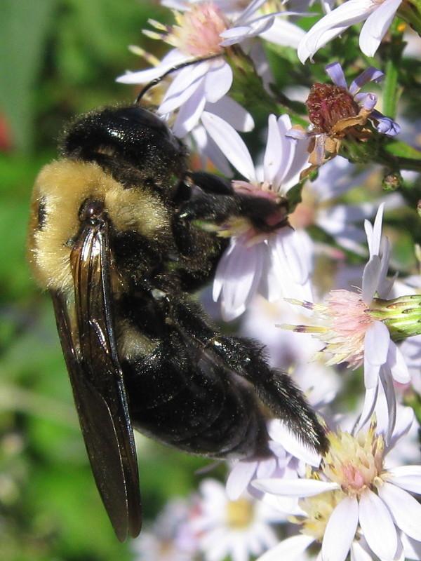 Carpenter bee on astor