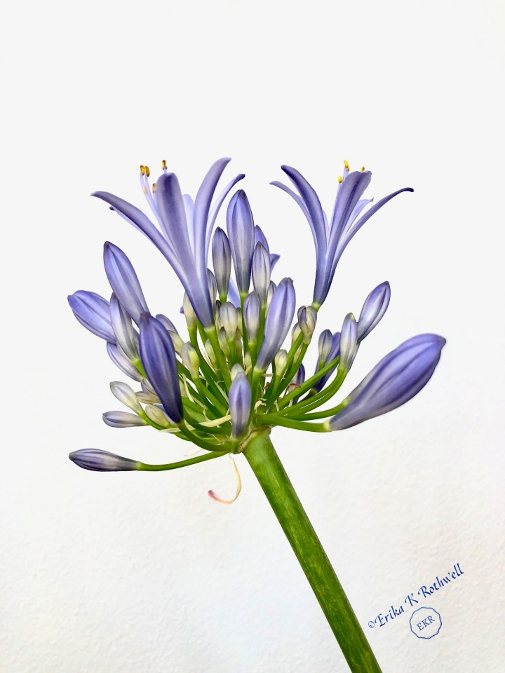 Photograph of purple lily of the nile flower by Erika K Rothwell
