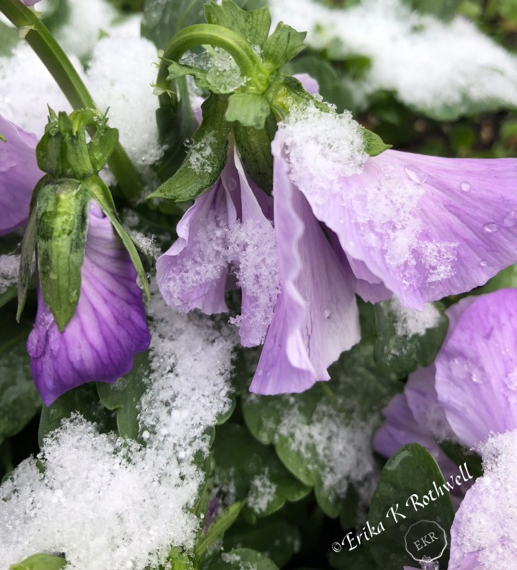 snow on purple pansy photograph erika k rothwell