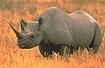 A Rhinoceros Is Tangible