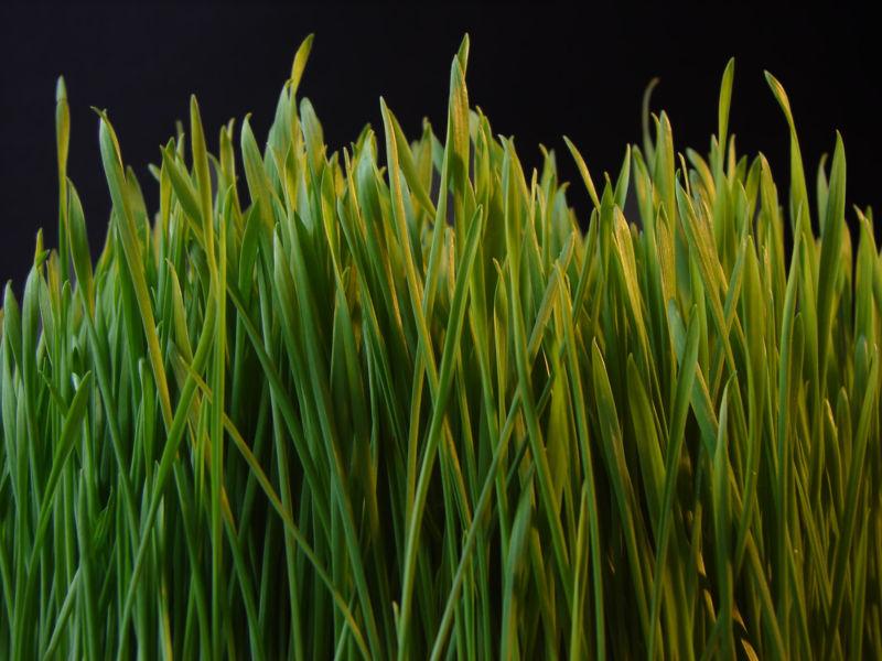 New spring grass