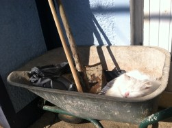 She loves napping in the wheelbarrow.