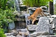Cougar grace