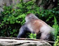 Gorilla butt