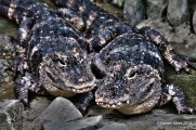 Croc symmetry