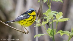 Magnolia Warbler: photo by Kevin Vance (www.flickr.com/photos/towpathphoto/)