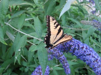 IMG_0459 Butterfly