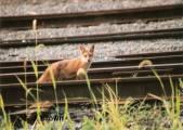 december-fox-horizontal