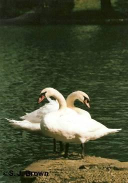 december-swans-vertical
