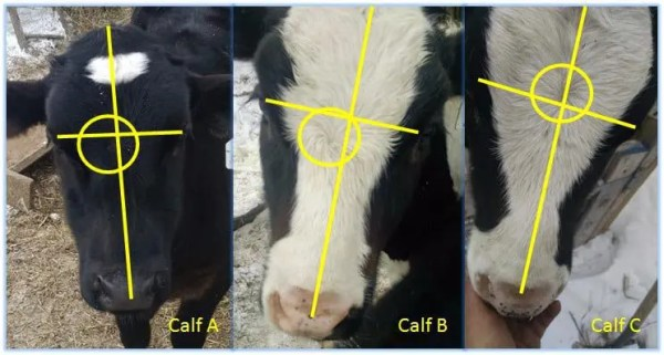 Calves A and B exhibit the whorl pattern below the midline; Calf C has a whorl slightly above midline.  I don't have an example of a very high whorl.