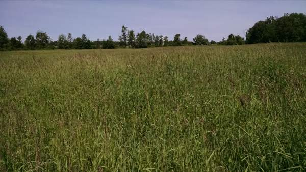 Here's the half of the field we grazed last year.  There are still undesirably species out there, but the grass beautiful.