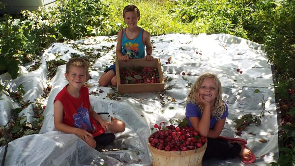 The kids helped with the harvest.  Our preferred method is to place a clean tarp under the tree and then to shake the branches to dislodge ripe fruit.