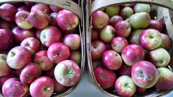 These August apples grow on one grafted limb of an ancient apple tree.  The other branches have  two other varieties of September apples.