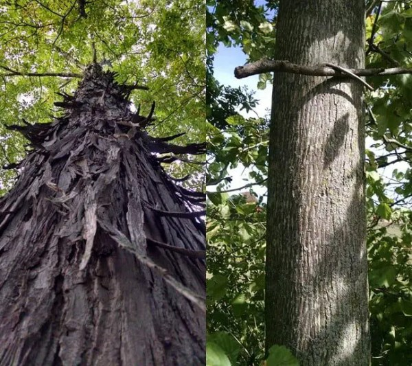 Shagbark versus smoothbark hickory trees. Guess which is which.