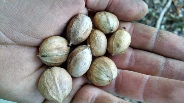 Both varieties of nuts have kernels about the same size after the hull is removed.