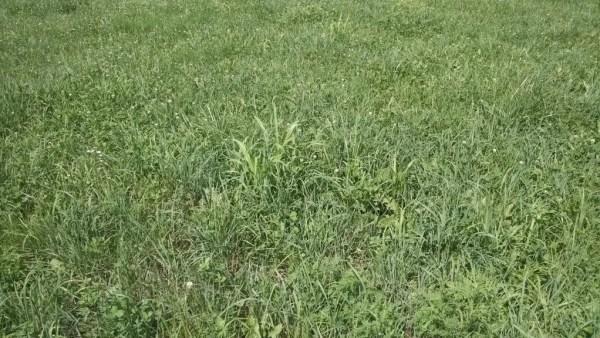 Millet Growing