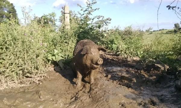 Muddy Sow