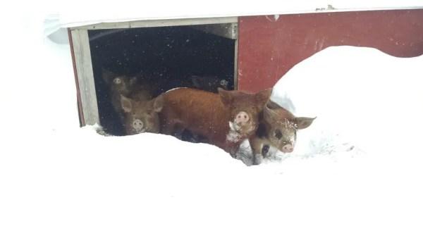 Reluctant Piglets