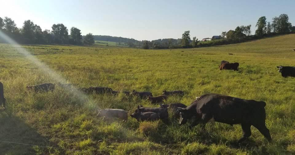 Running the Pigs