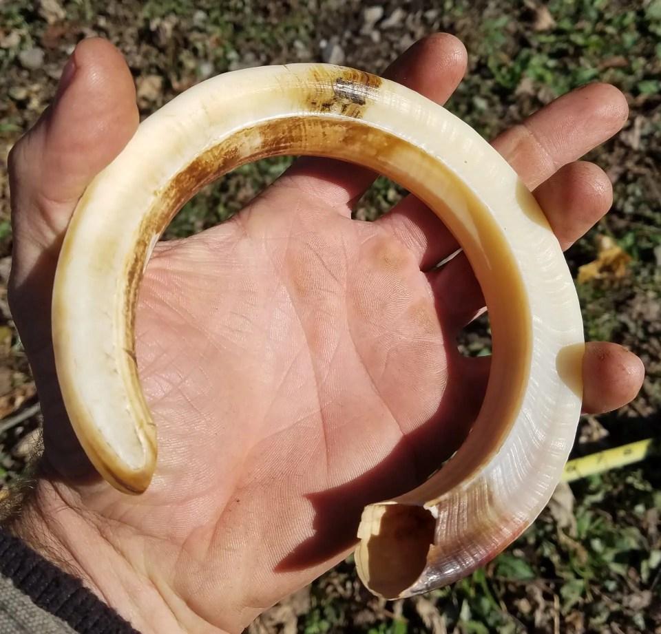 Boar Tusk Underside