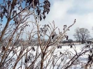Ice on Bushes