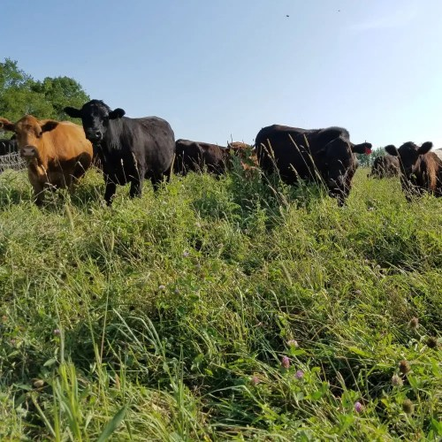 Grass fed beef cattle on our family farm's pastures.  All our grass fed beef is available for home delivery to customers throughout the Northeast.