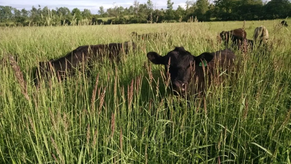 Grassfed beef cattle are grazing through tall grass in Wrong Direction Farm's lowest field.