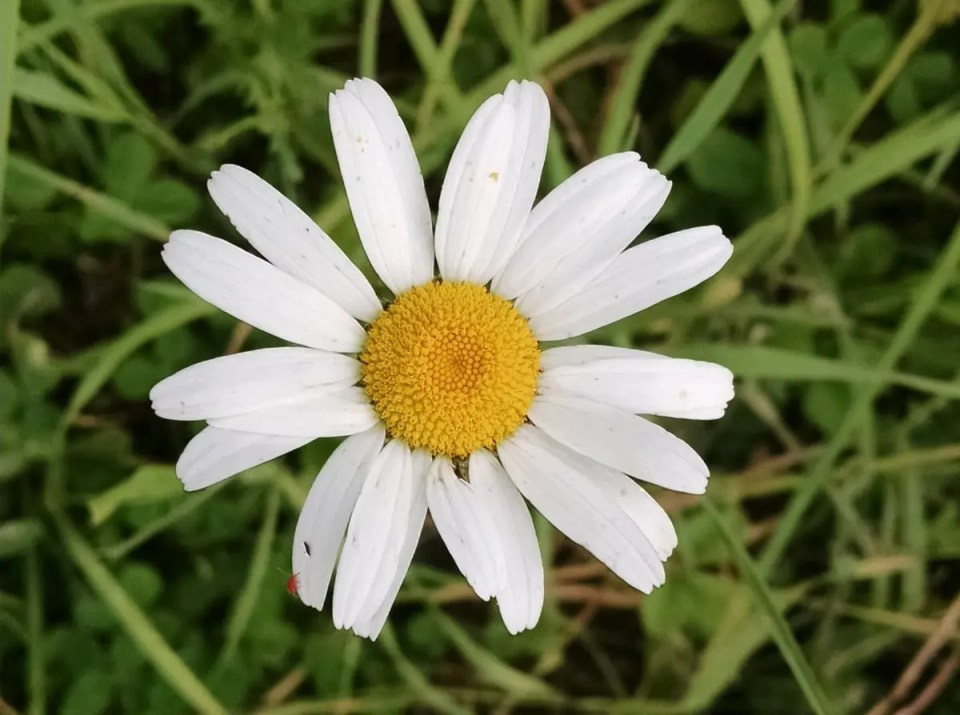 A daisy growing in Wrong Direction Farm's pasture.  Pasture diversity is important for the health of the fields and of our cattle and poultry.
