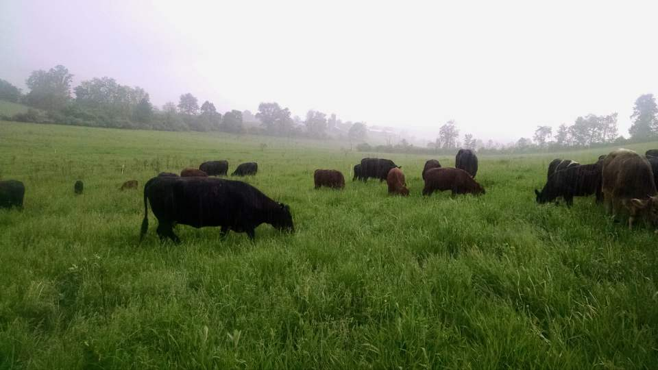 Wrong Direction Farm's grass fed beef herd grazing on a drizzly day in early May.  The pastures are especially lush in the early spring grazing.