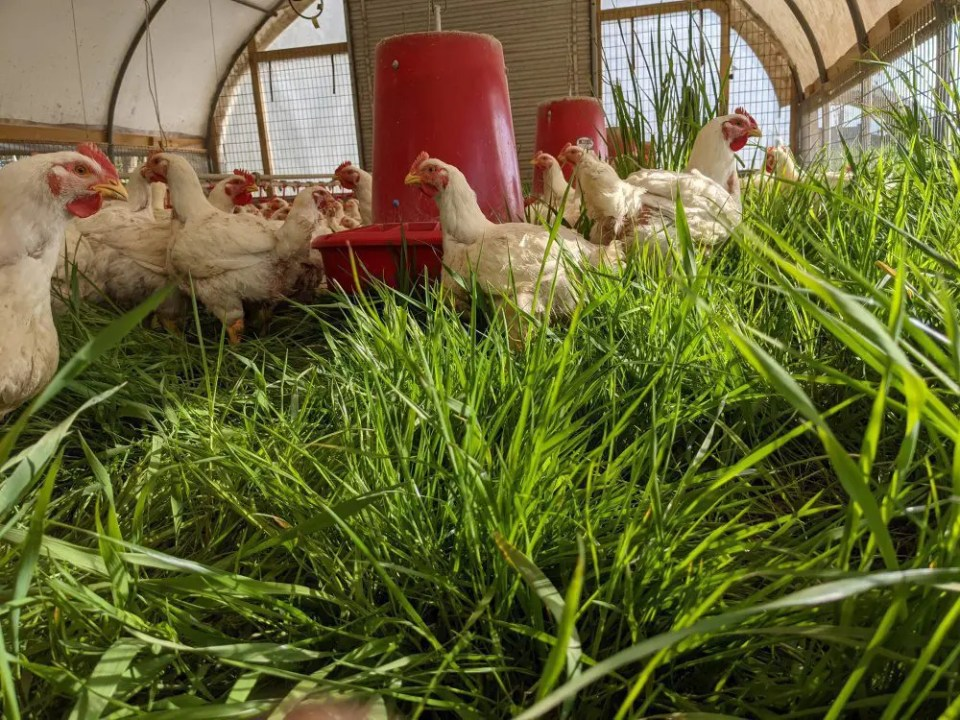 Pasture raised organic chickens grazing on grass at Wrong Direction Farm.