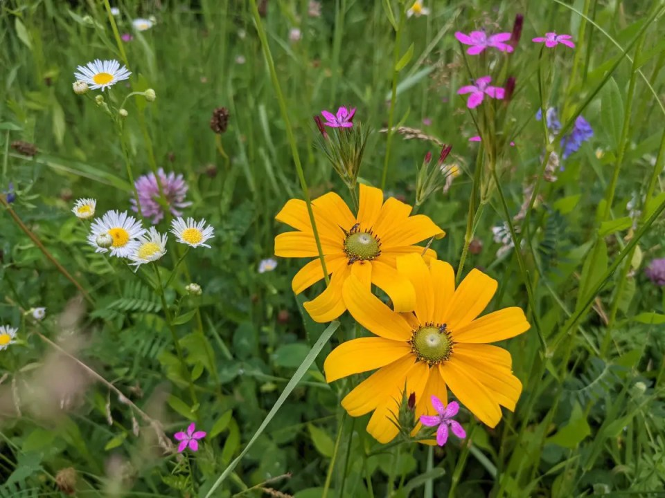 Wildflowers grown on our certified organic, regeneratively managed pastures.  Here's a closeup of the variety of plants growing in this field where we graze our herd of grass fed beef cattle.  Pasture raised goodness!