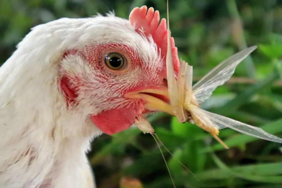 A pasture raised chicken proving that chickens prefer not to be vegetarian fed.