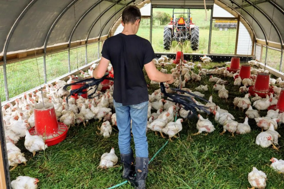 AJ moving the chickens to a new patch of grass on pasture using his chicken herding flags.