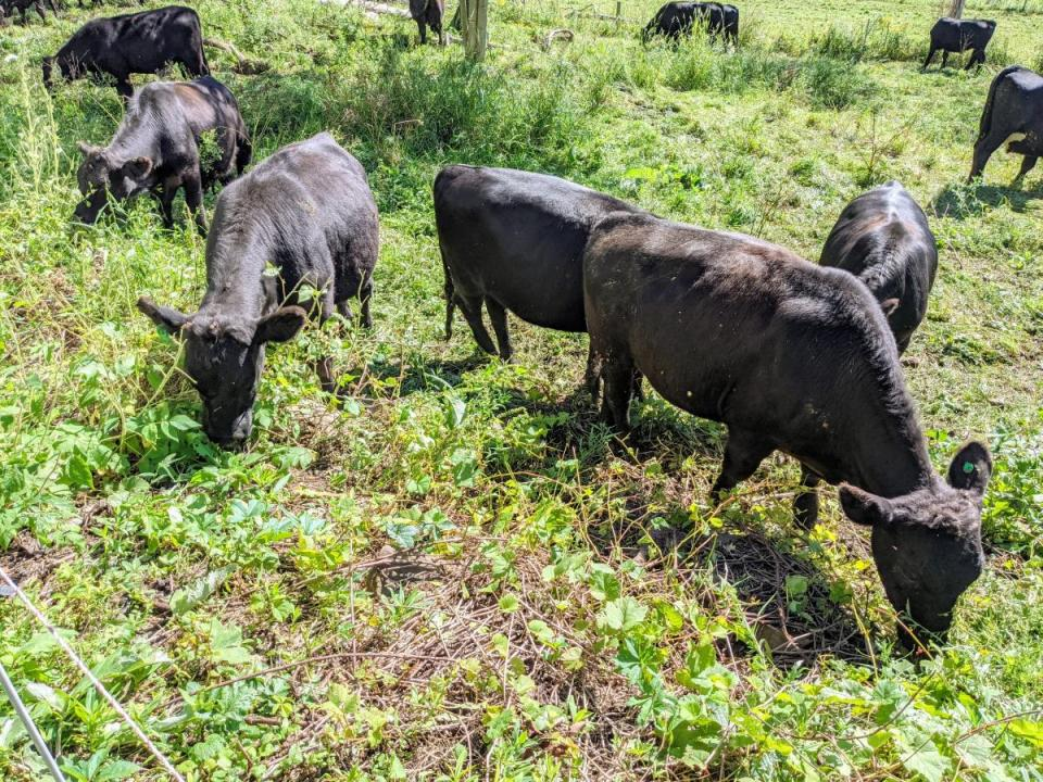 """Grass fed cattle demonstrating that grass fed is a """"big tent"""" idea, with all sorts of nutritious forages are available to cattle. Leaf fed beef!"""
