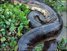 Anaconda de la región amazónica (Foto cortesía de WWF)