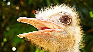 Avestruz Struthio camelus Foto BJORN SVENSSON/SCIENCE PHOTO LIBRARY