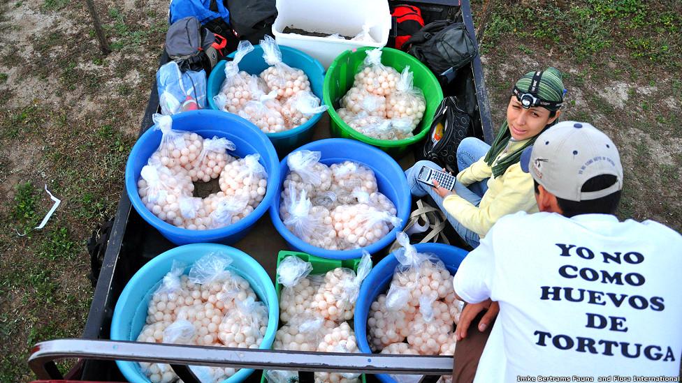 Trasladando los huevos de tortugas marinas.