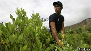 coca en Colombia