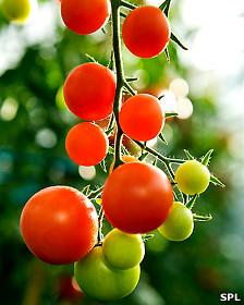 Planta de tomate Foto: SPL