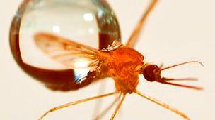 Mosquito junto a una gota de agua