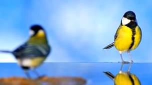 Aves (Carbonero común) Foto: Javier Castro/Fotolia