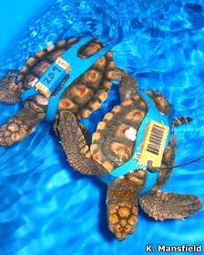 Tortugas caguama con un arnés