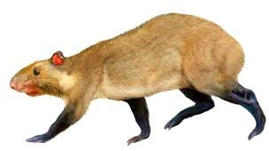 Ilustración representando Mesoprocta hypsodus, un roedor que vivió hace 13 millones de años en Bolivia y es pariente de Andemys termasi de Chile Ilustración  V. Simeonovski & D.A. Croft
