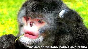 Rhynopitecus strykeri, mono que estornuda