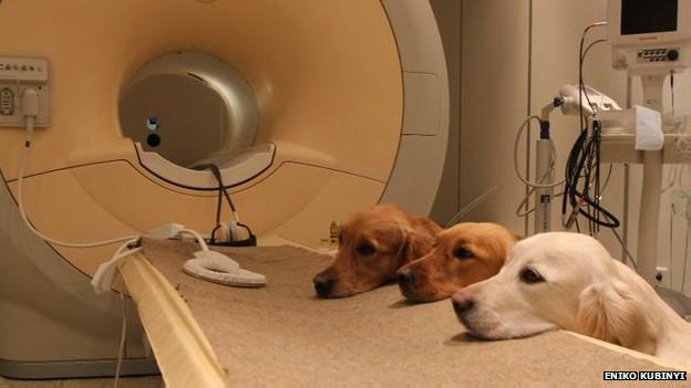 Cães e aparelho de ressonância magnética (Eniko Kubinyi)