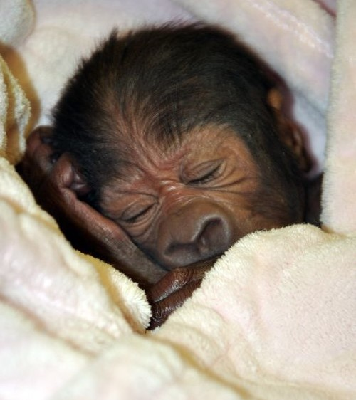 635936478371205201-Gorilla-baby-1